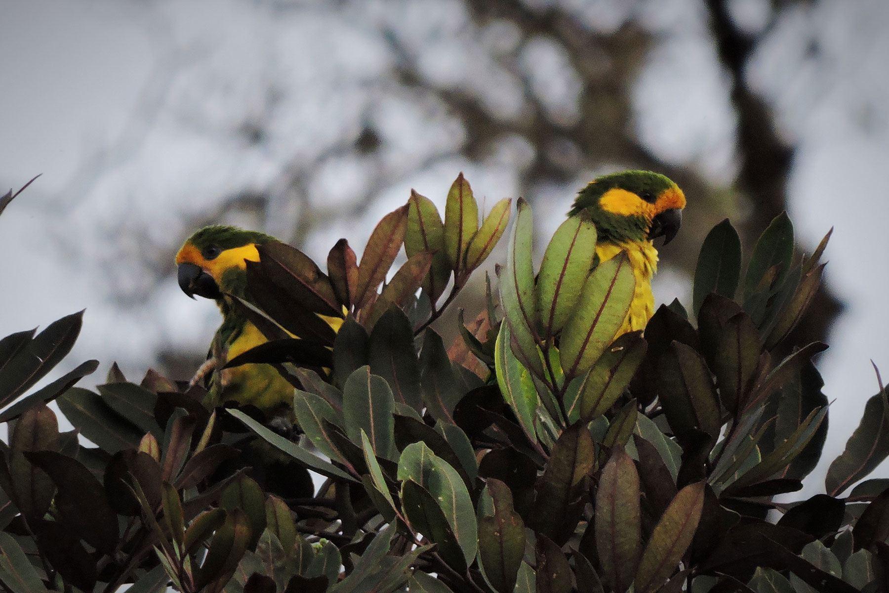 Colombia Endemic Part 1 Birding Tour