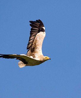 Egyptian Vulture - Birding Tarifa